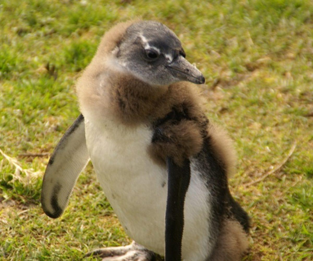 Südafrika Pinguine